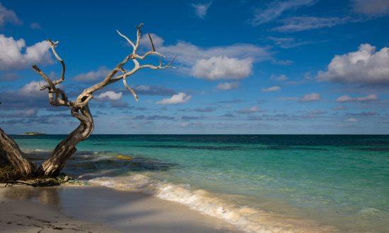 weird tree on the beach in antigua